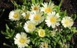 Очиток седум видный сорта посев и описание