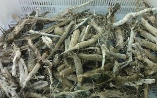 Что лечит и чем полезен корень подсолнуха