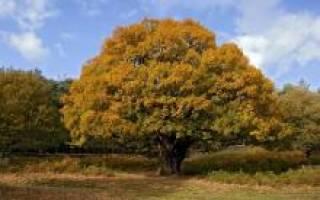 Как сажать желуди выращивание плода дуба возле дома