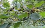 Польза от крушины ольховидной заготовка лекарственного растения