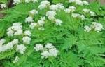 Особенности выращивания кервелякупырь в домашних условиях